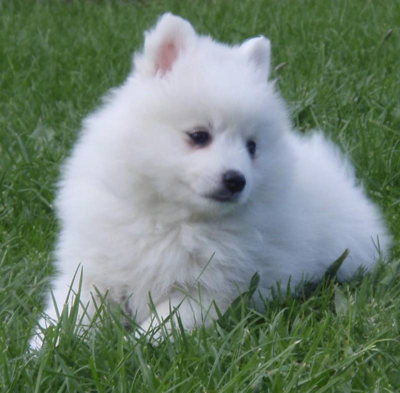 Japanese Spitz Male (45 days to 2 months)