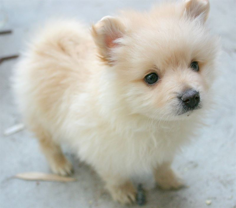 Pomeranian A Grade Puppy Send Gifts And Money To Nepal Online